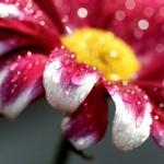 Blüte Rot weiß mit Wassertropfen
