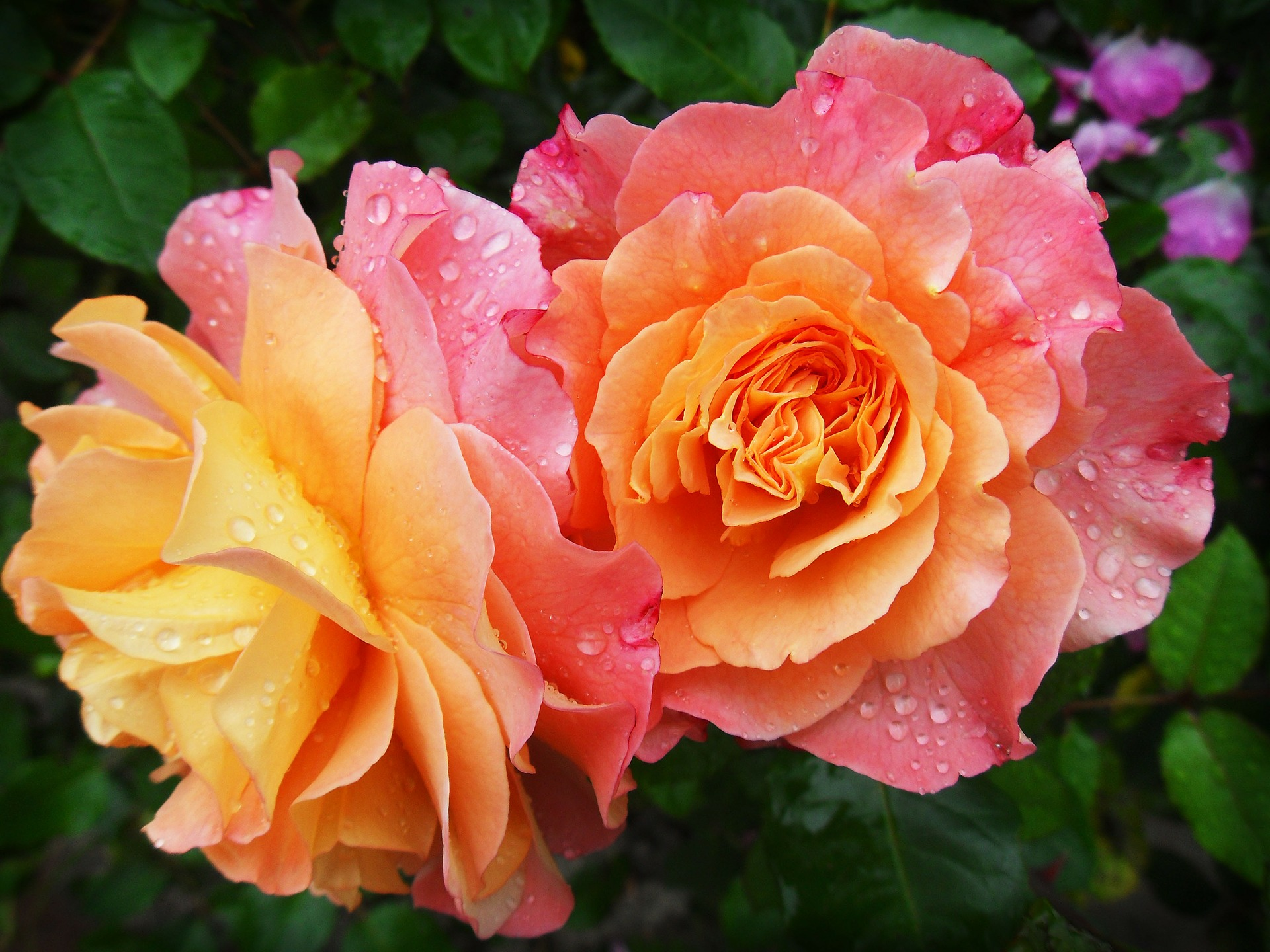 orange-rosa Rosenblüten